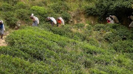 Don't romanticise it - picking tea is hard work